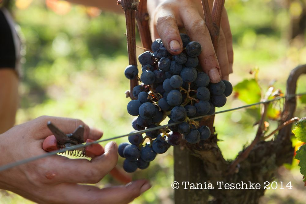 1tania_teschkee_photography_chateau_guadet_vendanges_2014_day_1_8794