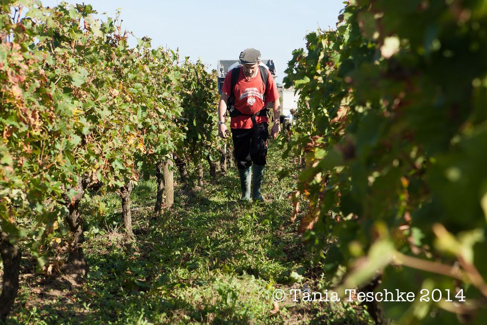 1tania_teschkee_photography_chateau_guadet_vendanges_2014_day_1_8821