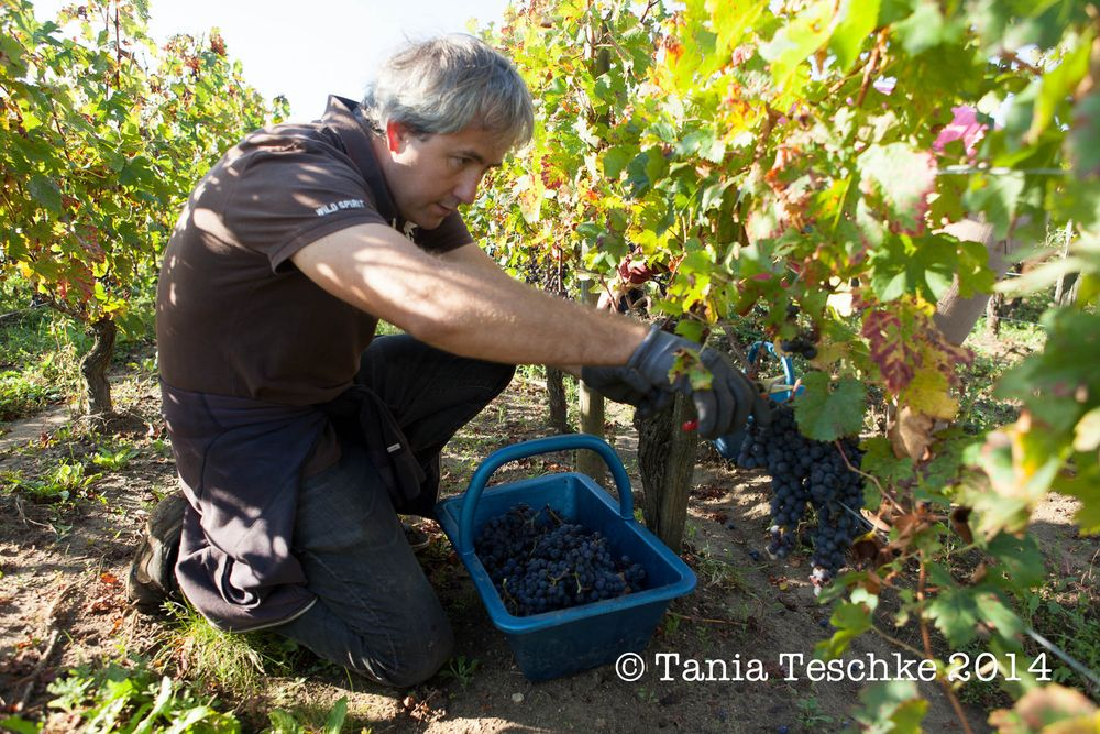 1tania_teschkee_photography_chateau_guadet_vendanges_2014_day_1_8631
