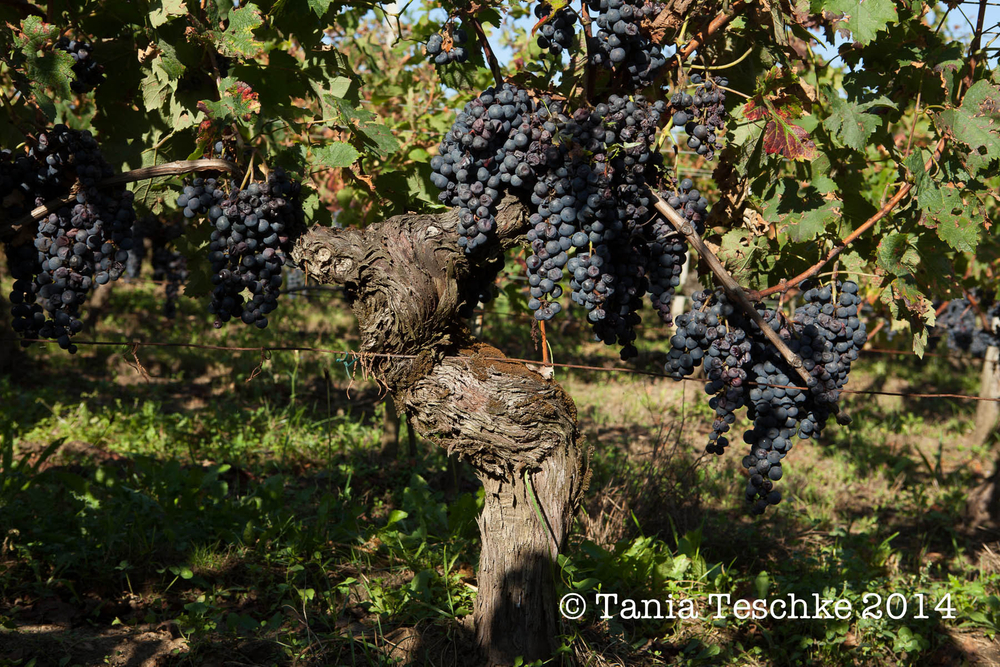 1tania_teschkee_photography_chateau_guadet_vendanges_2014_day_1_8804