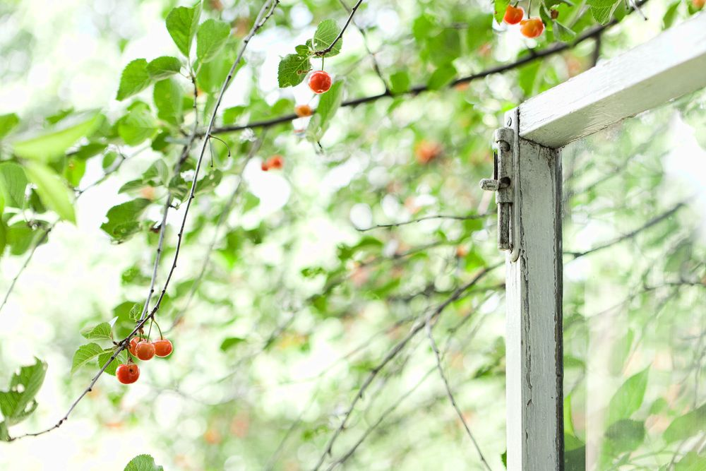 1almaty_cherries_white_window