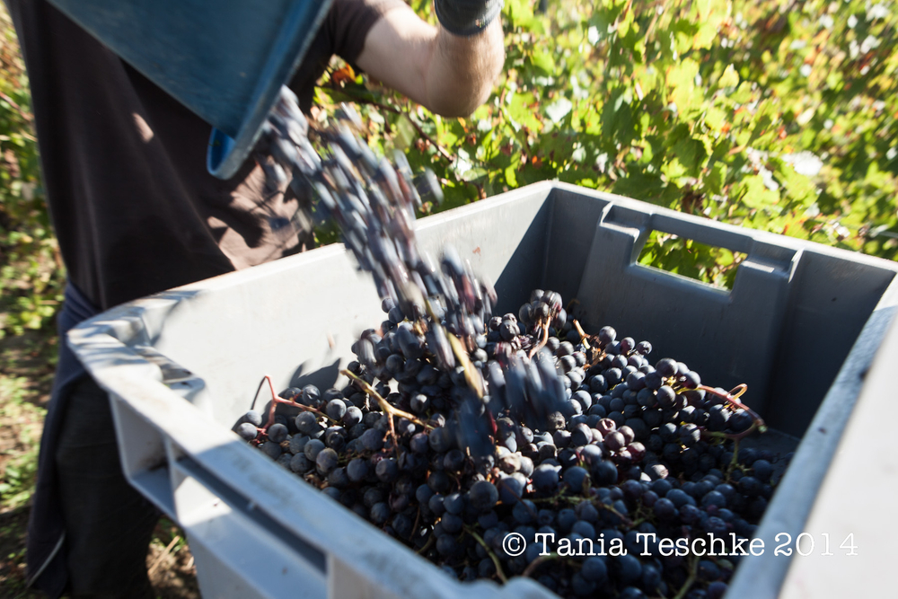 1tania_teschkee_photography_chateau_guadet_vendanges_2014_day_1_8754