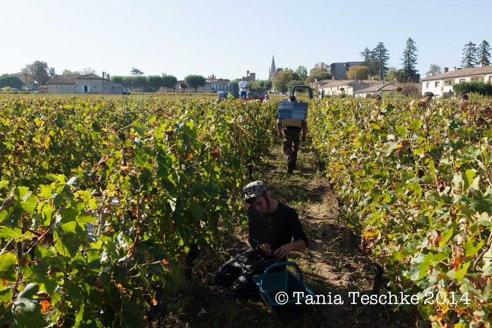 1tania_teschkee_photography_chateau_guadet_vendanges_2014_day_1_8782