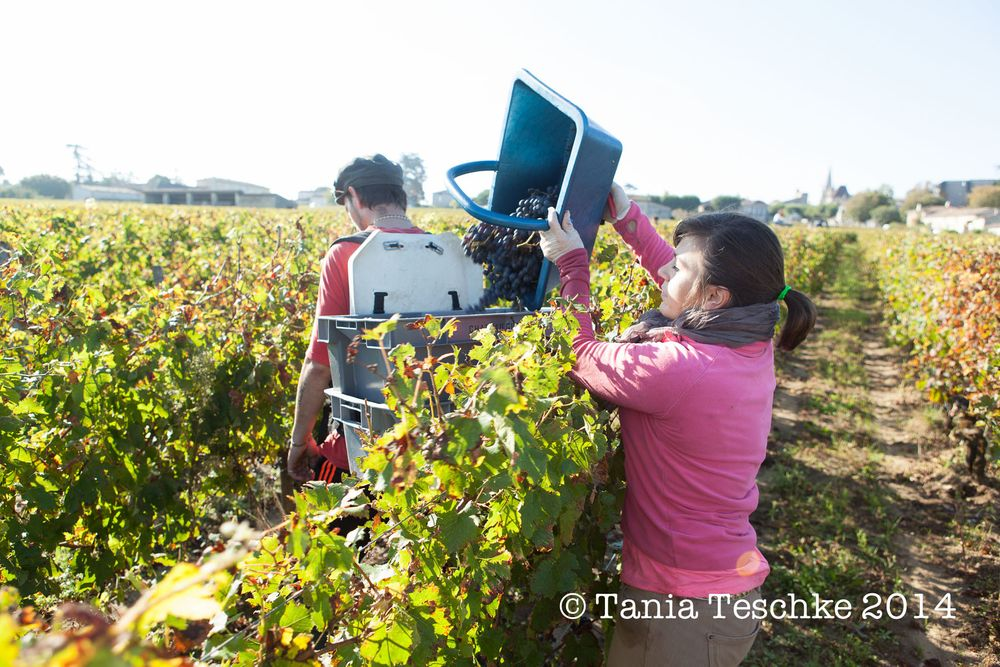 1tania_teschkee_photography_chateau_guadet_vendanges_2014_day_1_8660