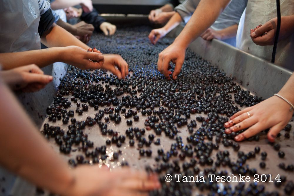 1tania_teschkee_photography_chateau_guadet_vendanges_2014_day_1_8868