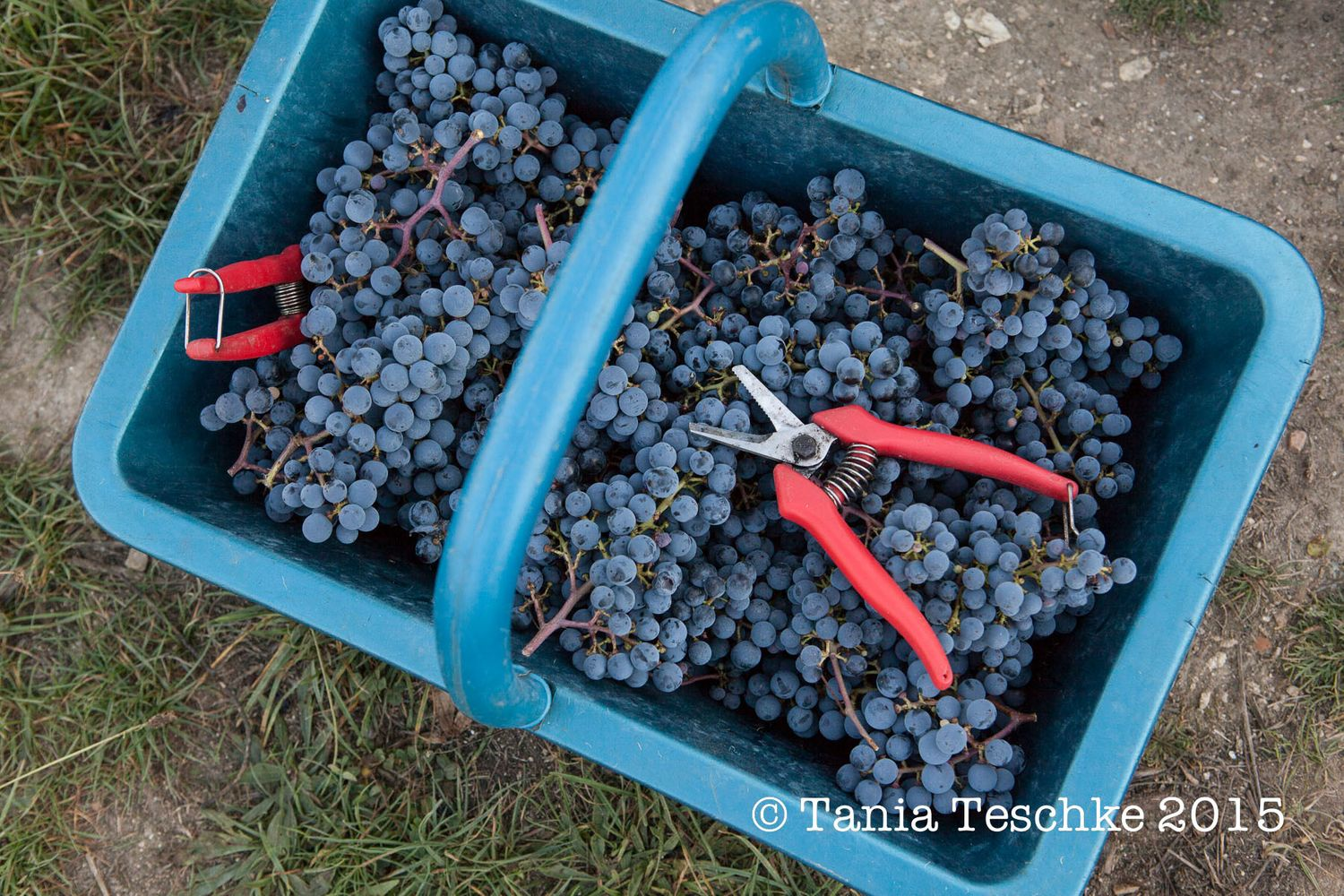 1tania_teschke_photography_ch_guadet_vendanges_2015_0720