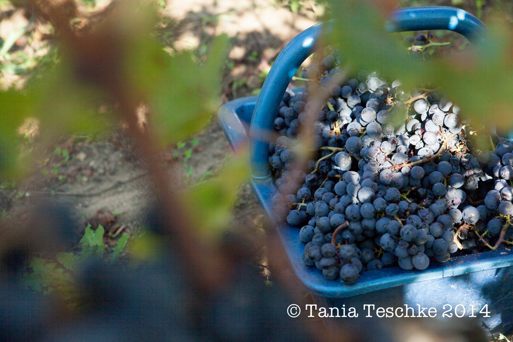 1tania_teschkee_photography_chateau_guadet_vendanges_2014_day_1_8699