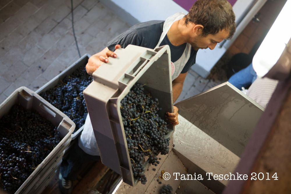 1tania_teschkee_photography_chateau_guadet_vendanges_2014_day_1_8880