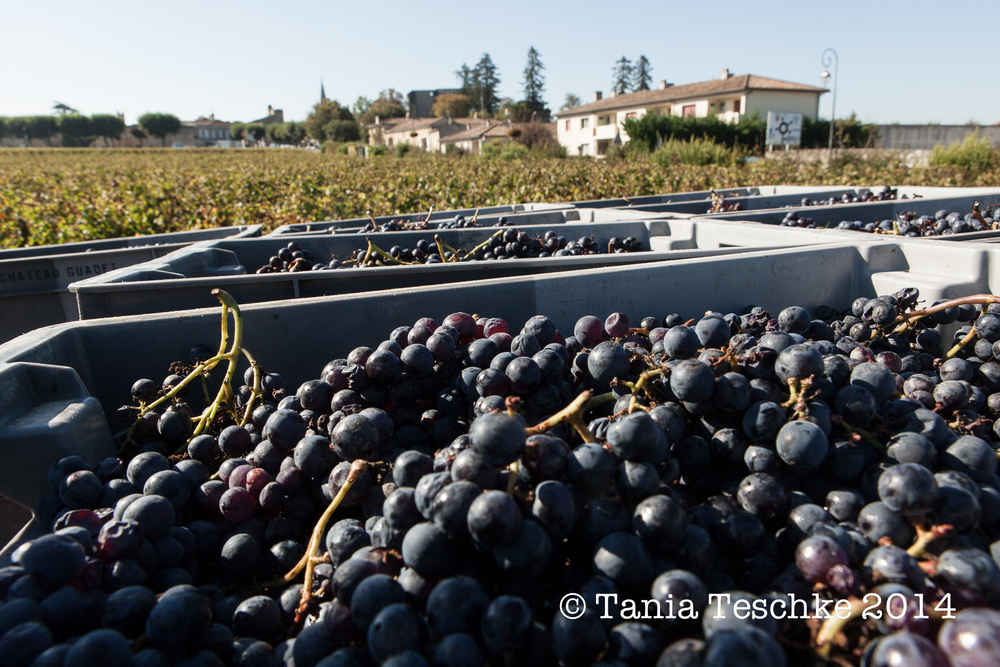 1tania_teschkee_photography_chateau_guadet_vendanges_2014_day_1_8837