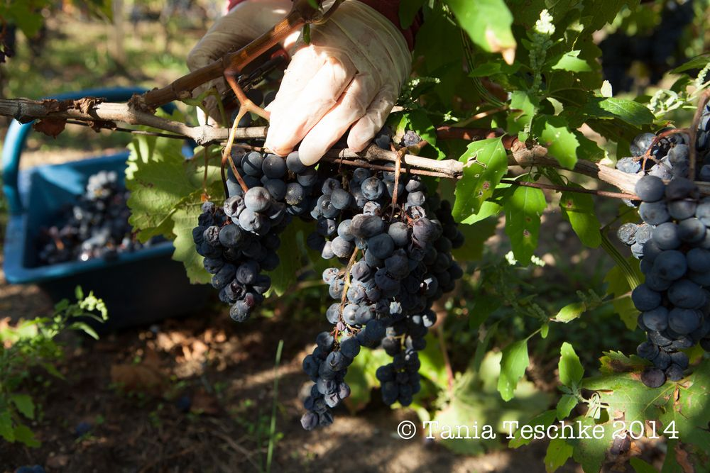 1tania_teschkee_photography_chateau_guadet_vendanges_2014_day_1_8730
