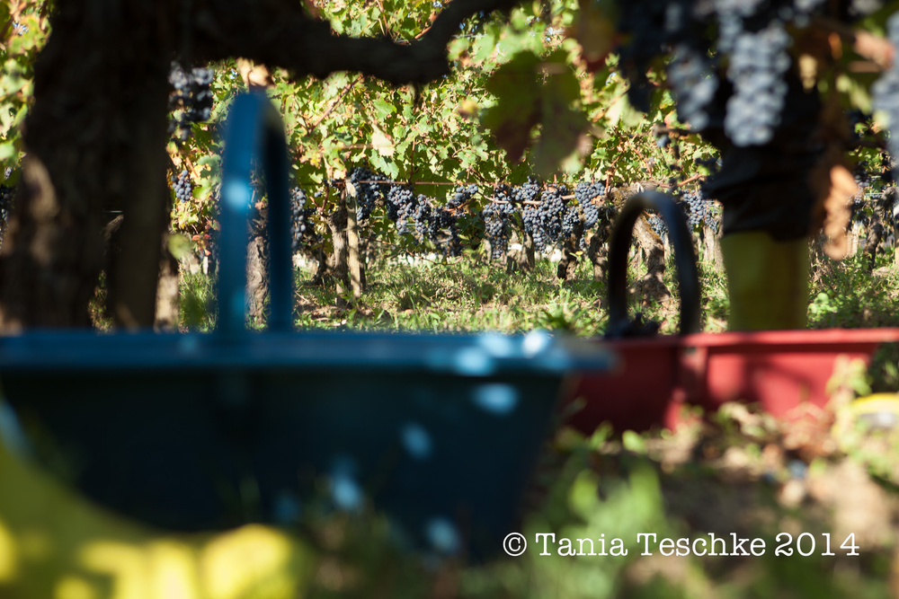 1tania_teschkee_photography_chateau_guadet_vendanges_2014_day_1_8796