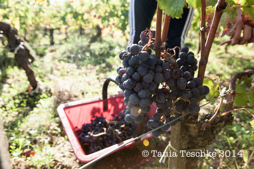 1tania_teschkee_photography_chateau_guadet_vendanges_2014_day_1_8788