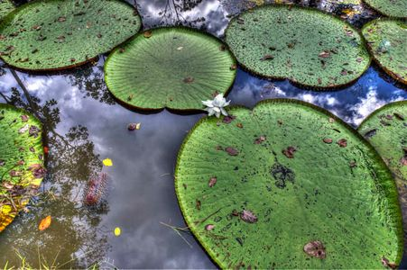 Giant Lily Pads, Amazon River
