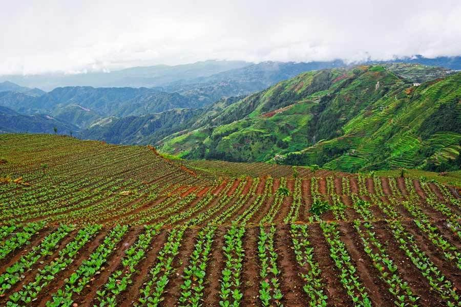 Cabbage Terrace Farming, Benguet