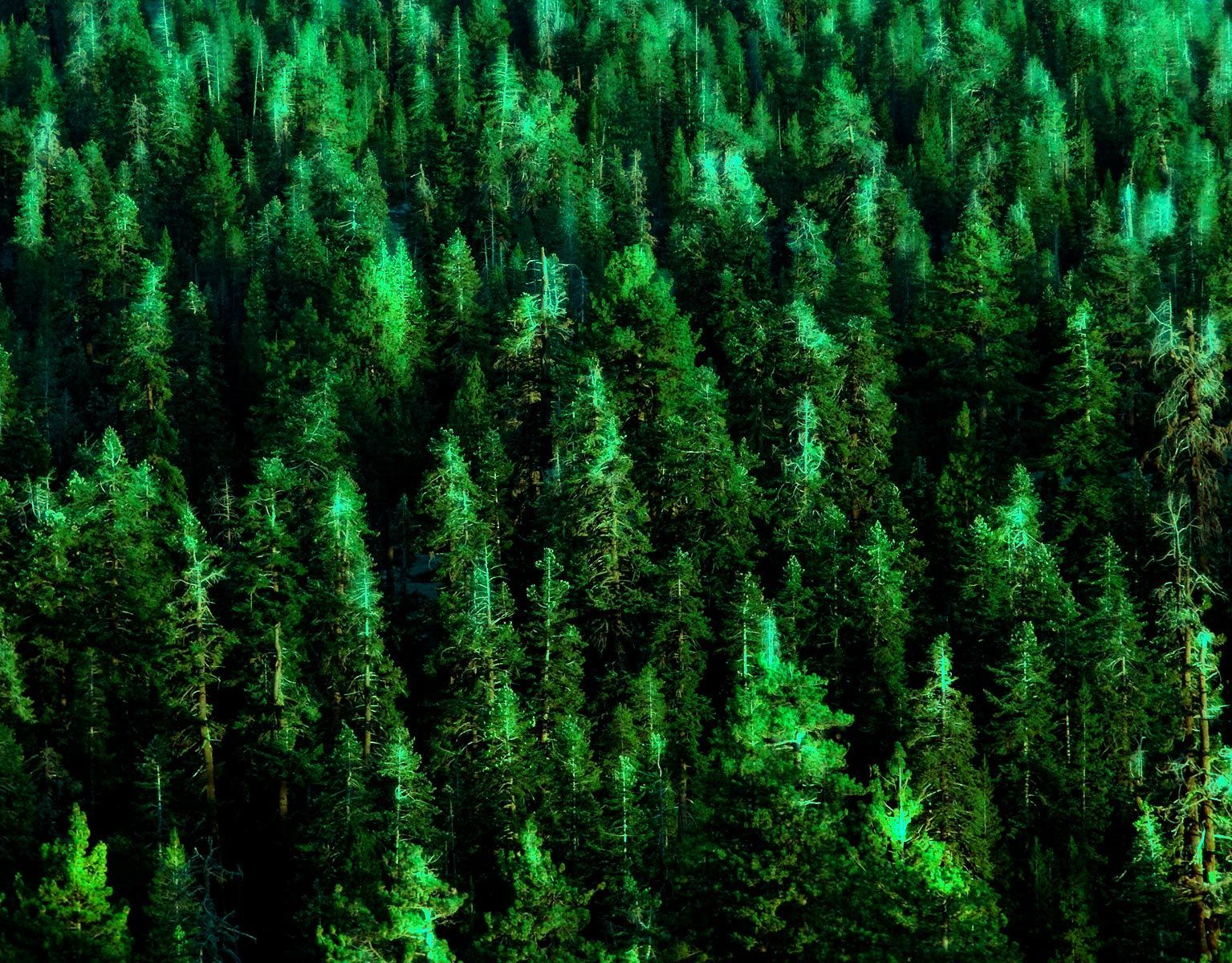 1yosemite_pineforest.jpg