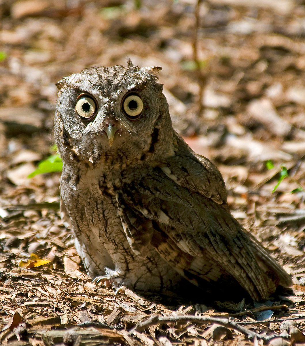 1screechowl_juv.jpg