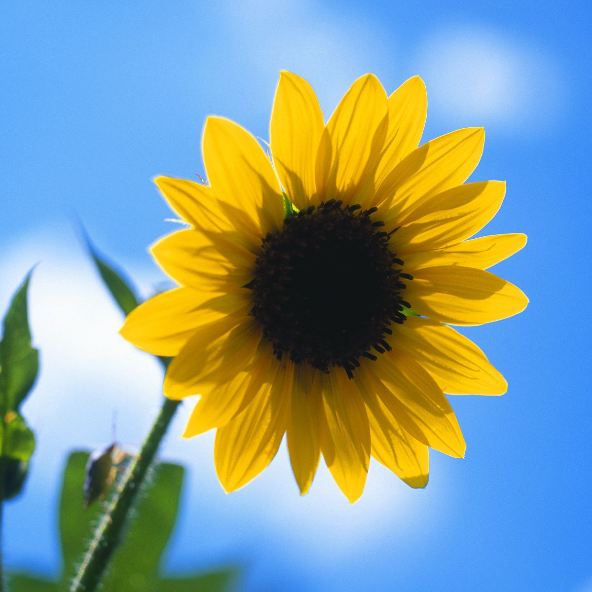 1sunflower.jpg