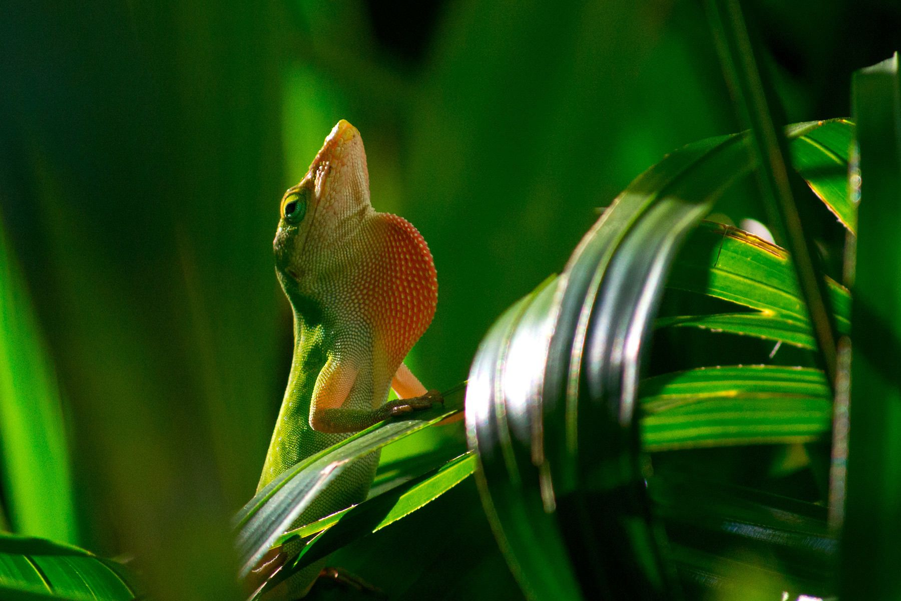 1green_anole_lizard.jpg
