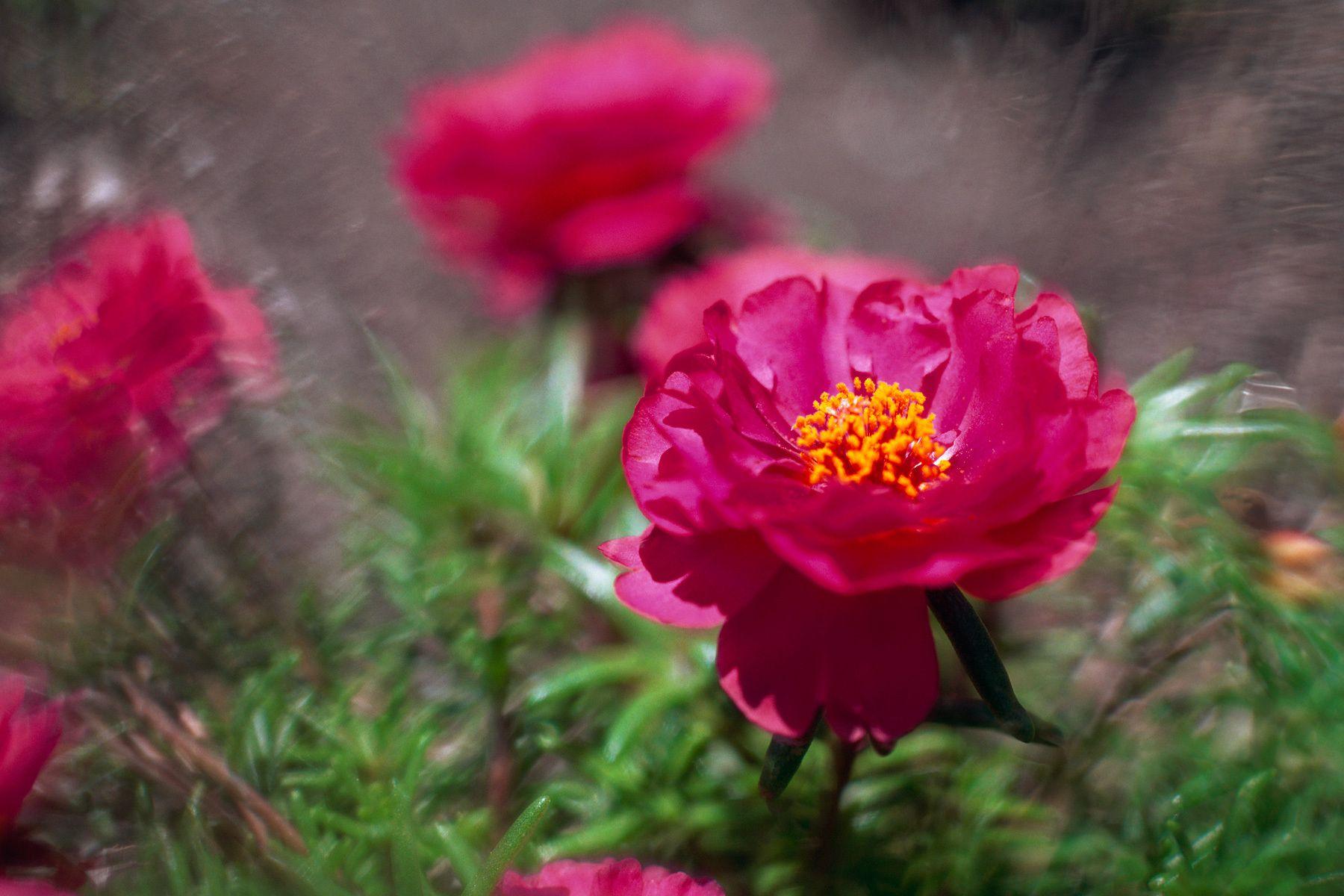 1magenta_flower.jpg