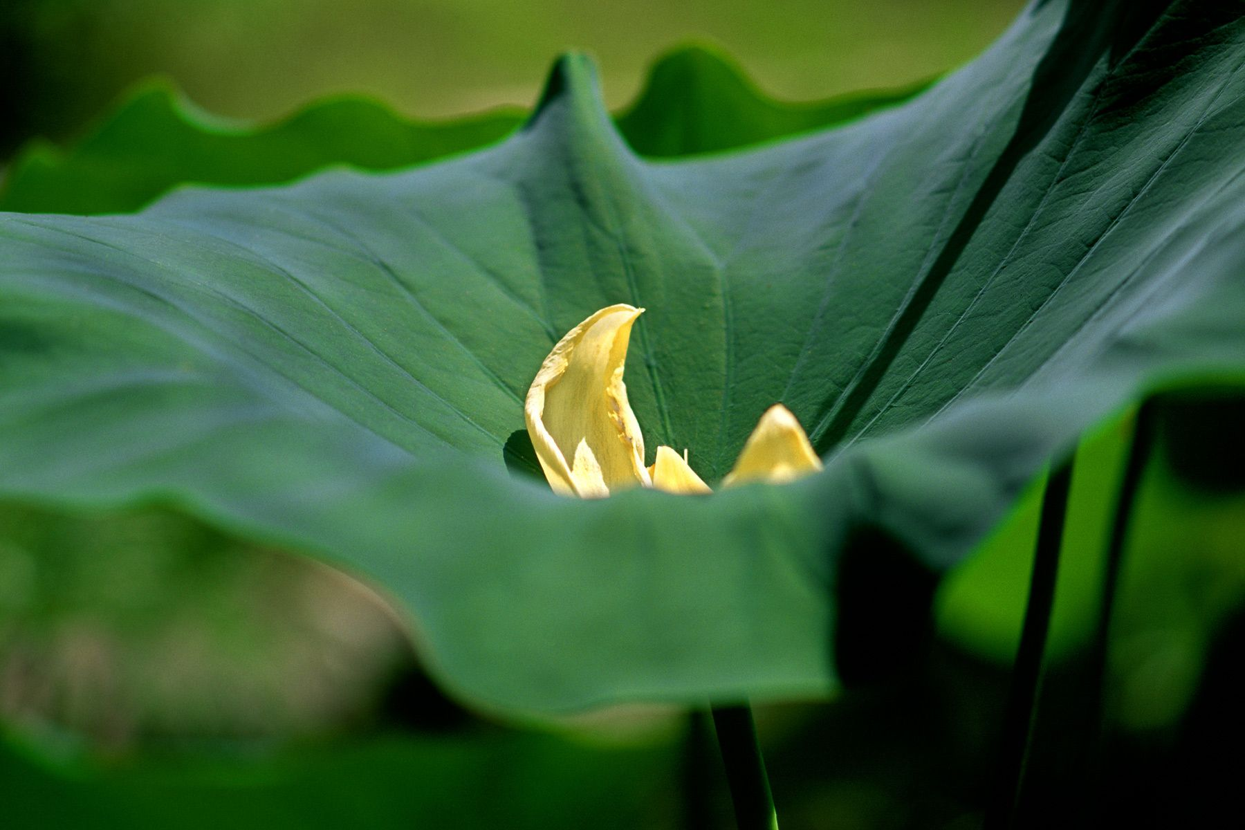 1big_leaf.jpg
