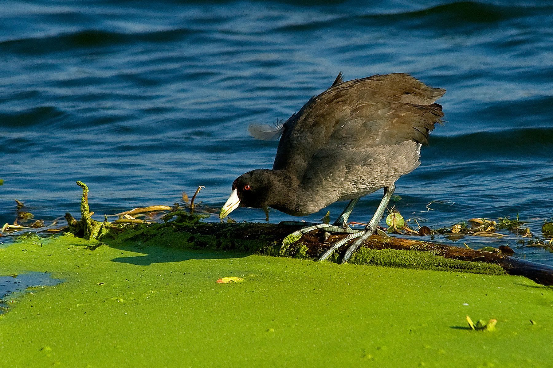 1commonmoorhen_2.jpg