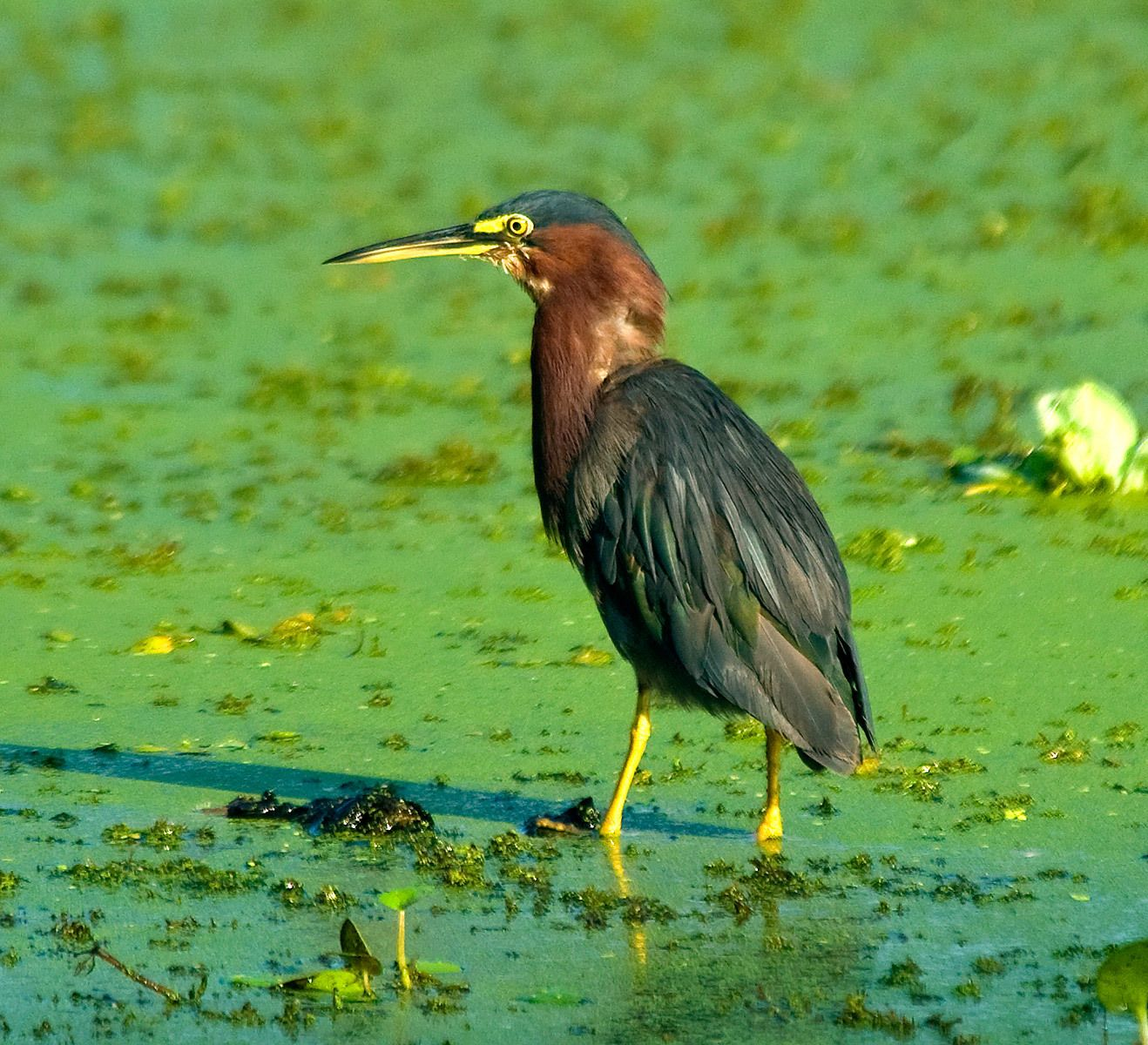 1greenheron.jpg