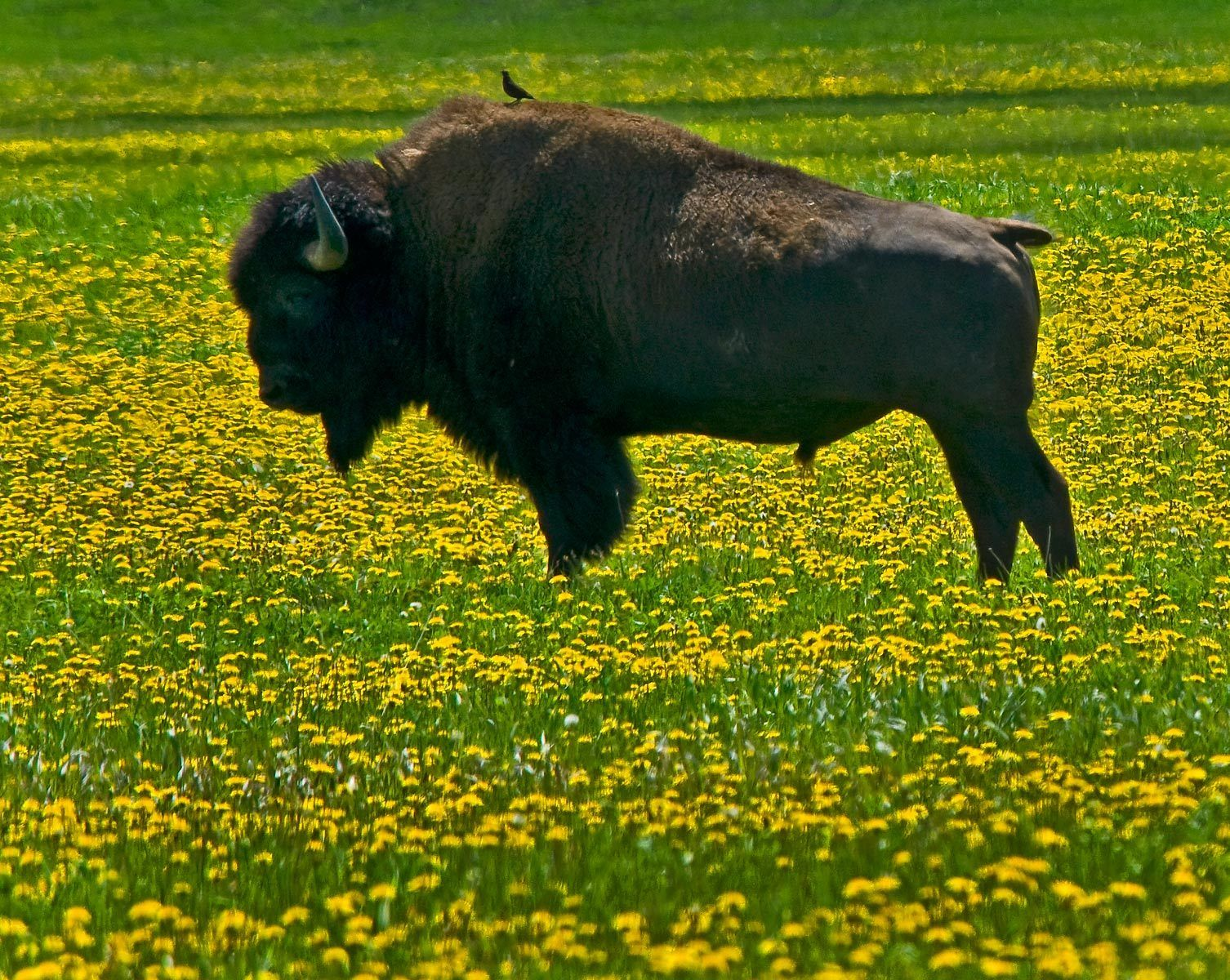1bison_wildflowers2.jpg