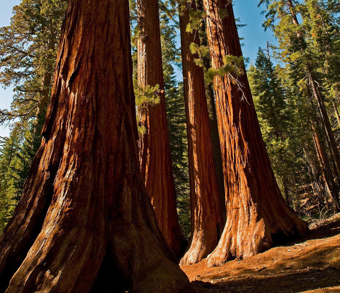 1sequoias.jpg