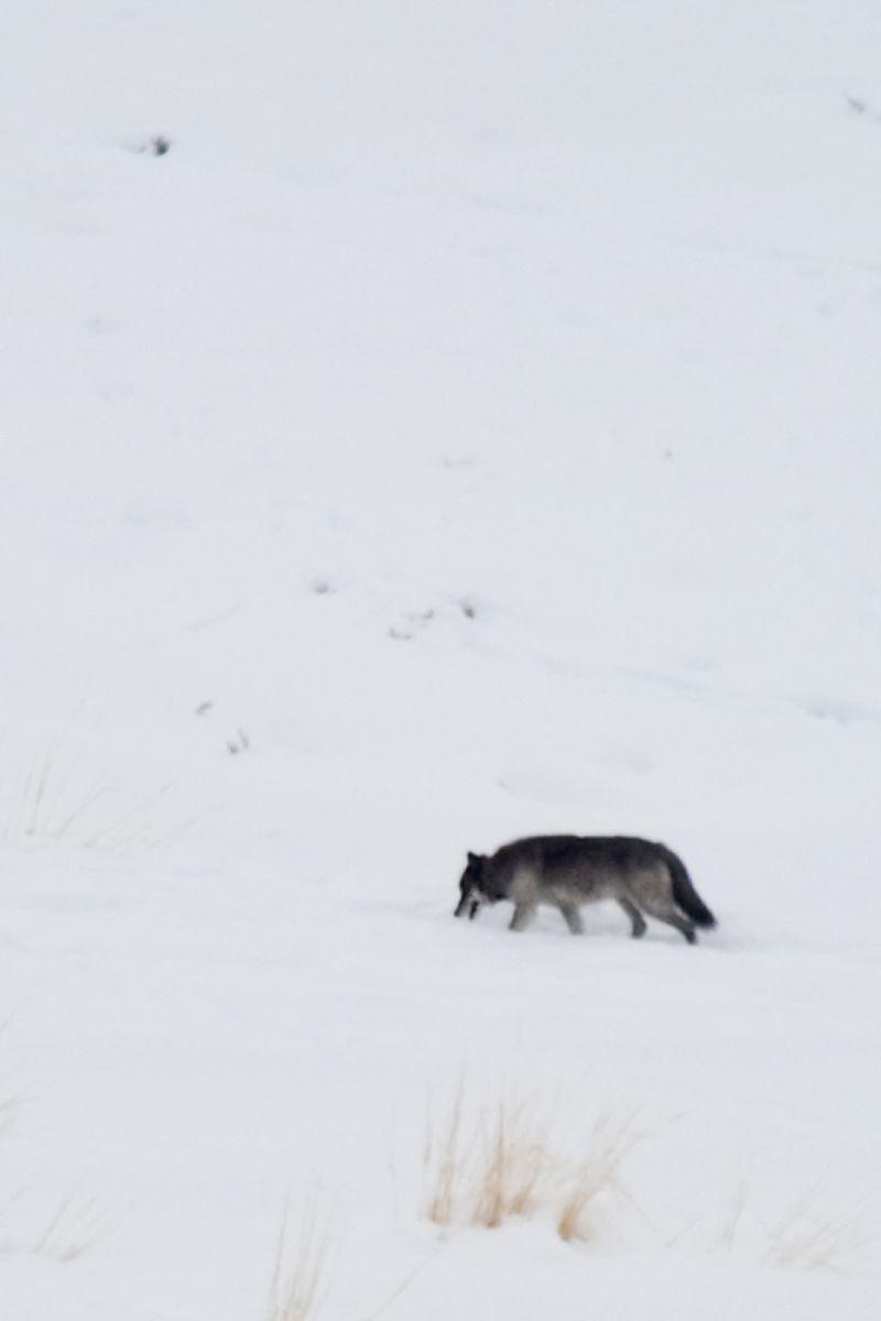 1wolf_692_2.jpg