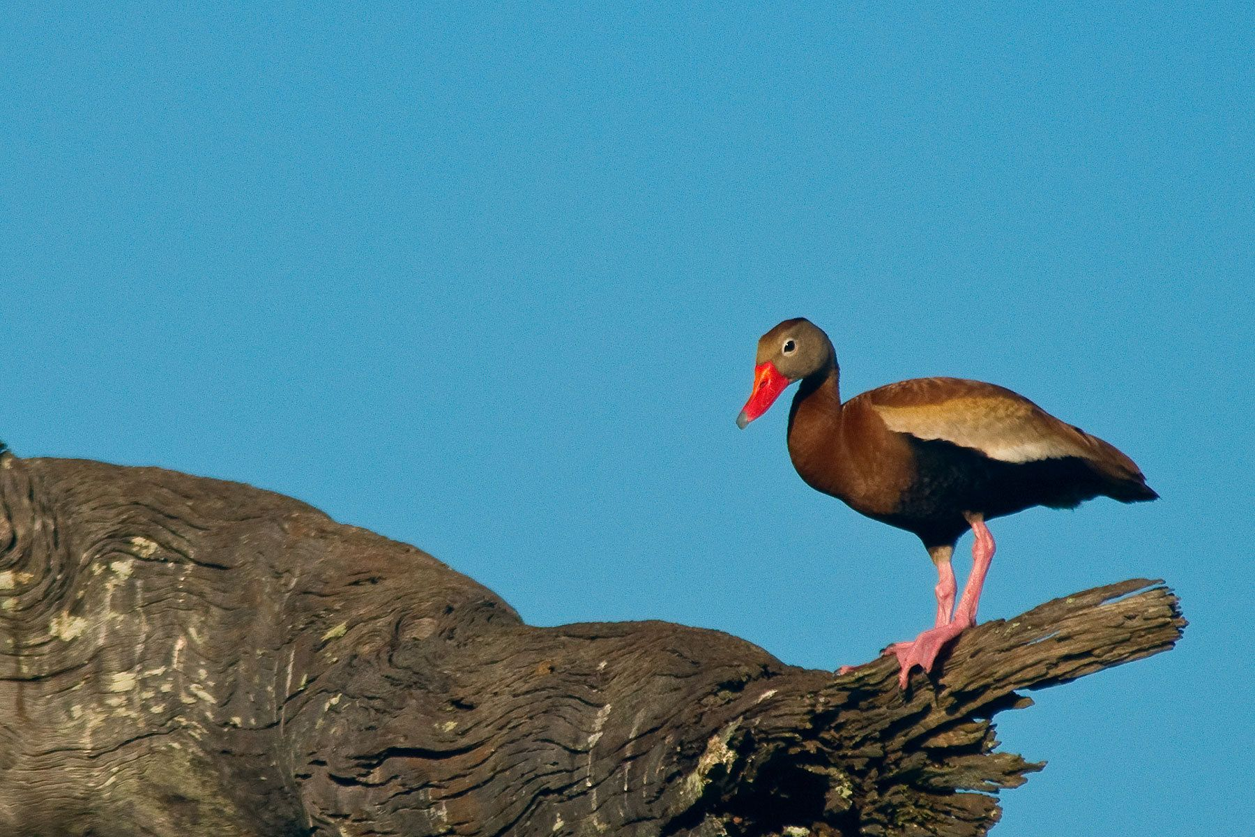 1bb_whistlingduck.jpg