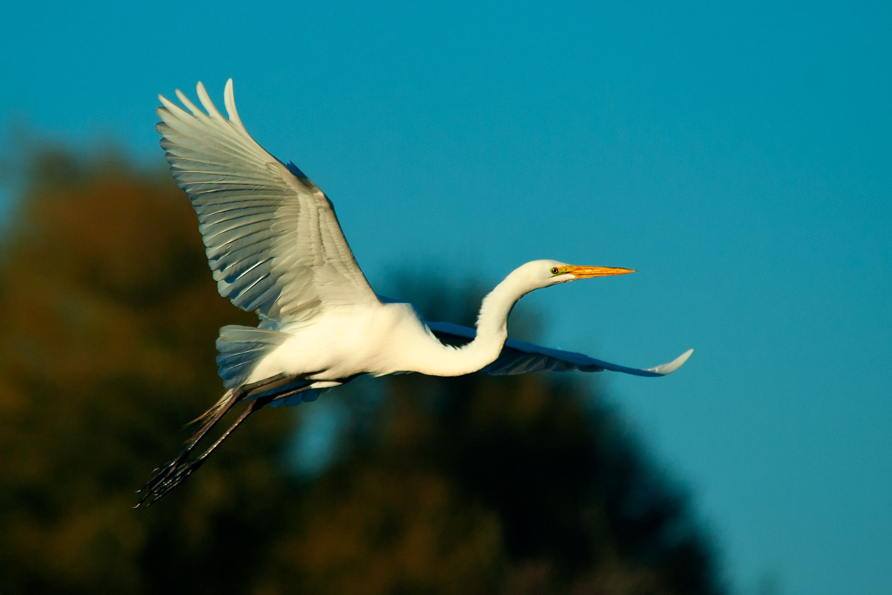 1great_egret.jpg