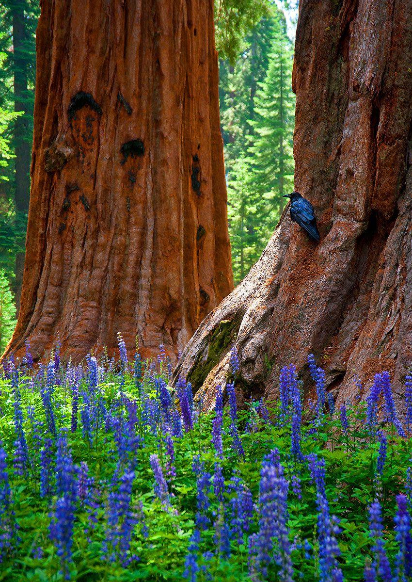 1raven_sequoias.jpg