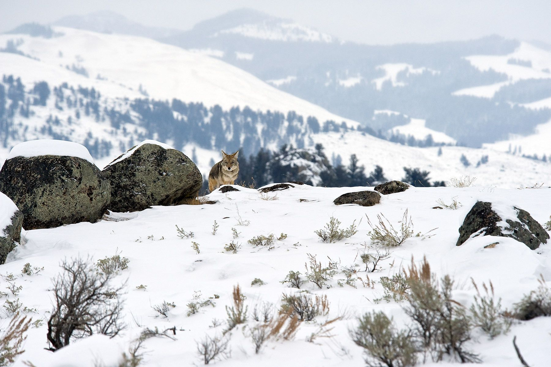 1yellowstone_coyote.jpg