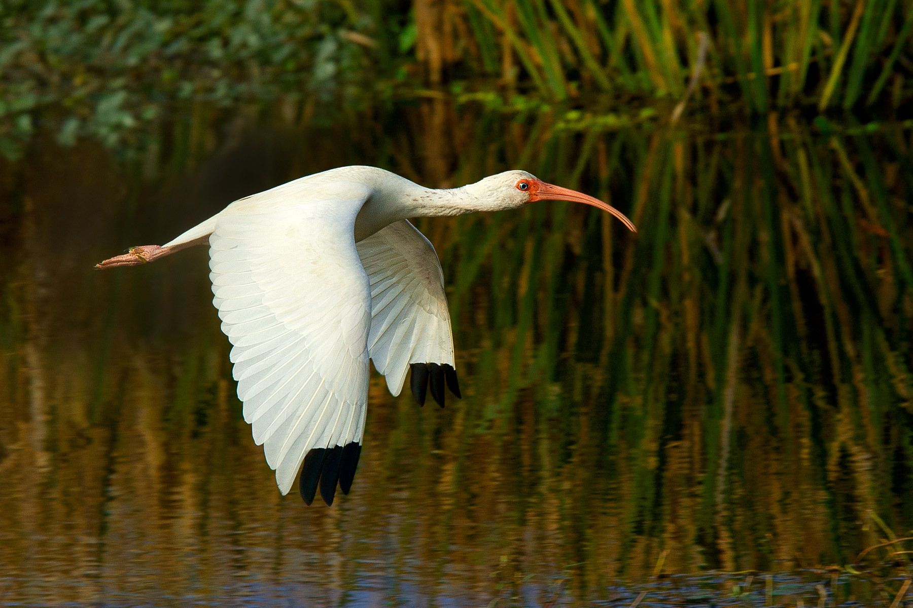 1whiteibis_flight_2.jpg