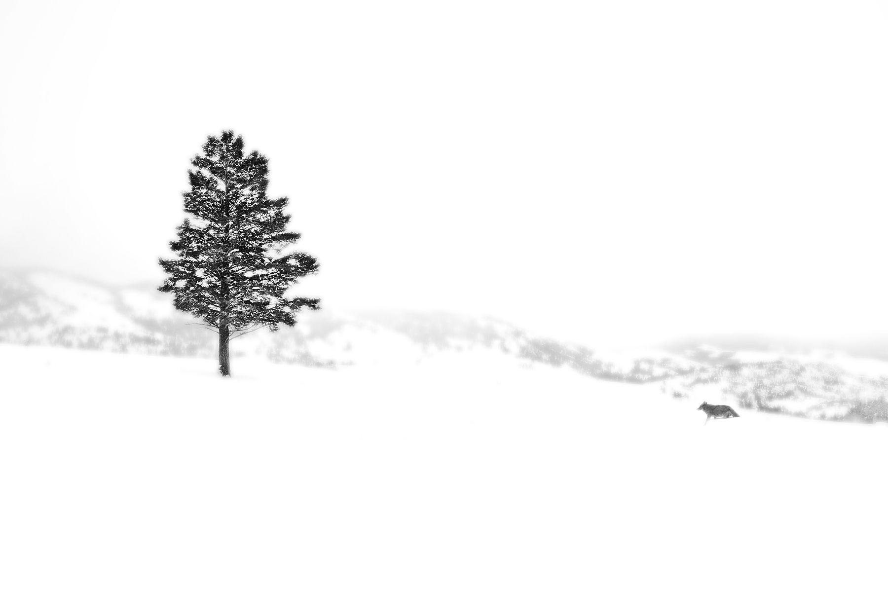 1pinetree_coyote_snow.jpg