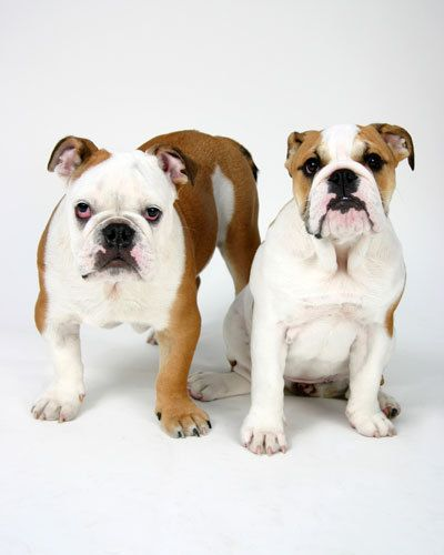 young english bulldogs
