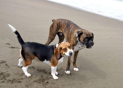 beagle, boxer