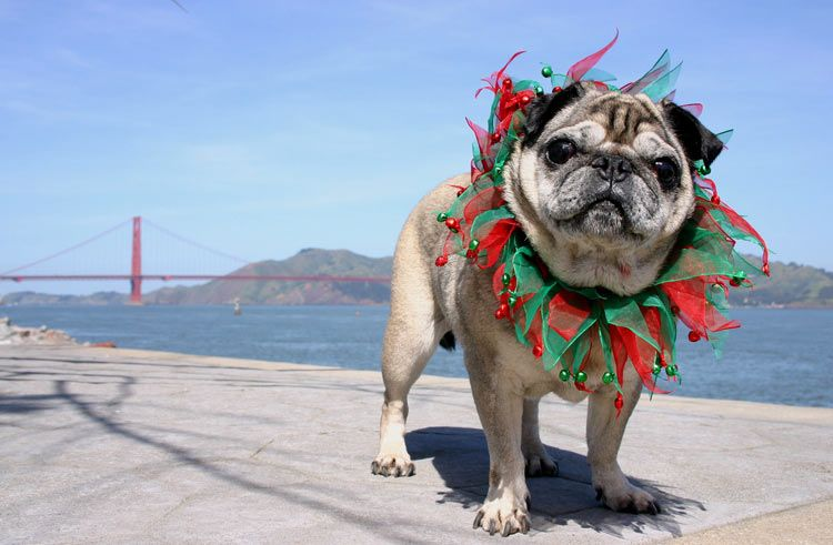 pug in holiday collar with golden gate bridge