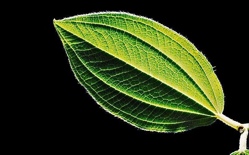 green leaf kiyoshi togashi