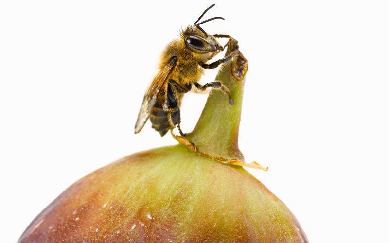 fig wasp kiyoshi togashi