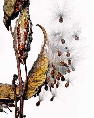 milkweed pods seeds kiyoshi togashi