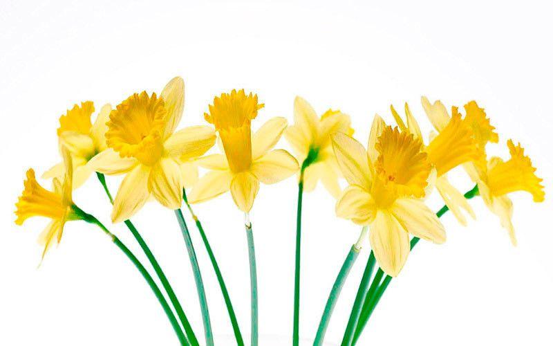 daffodils kiyoshi togashi