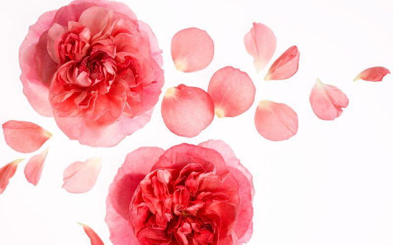 rose kiyoshi togashi