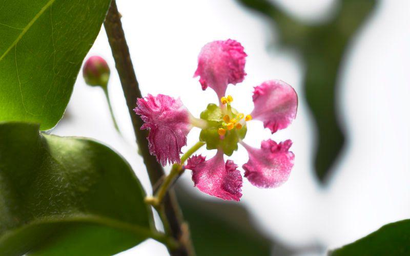 acerola cherry flower kiyoshi togashi
