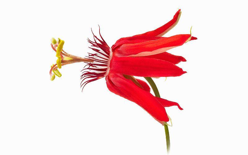 passion flower kiyoshi togashi