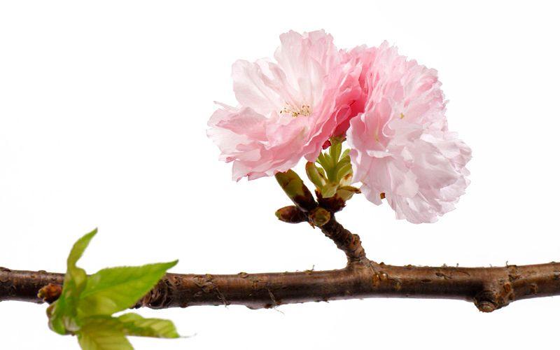 3_0_903_1cherry_blossom_07_021_kiyoshi_togashi.jpg