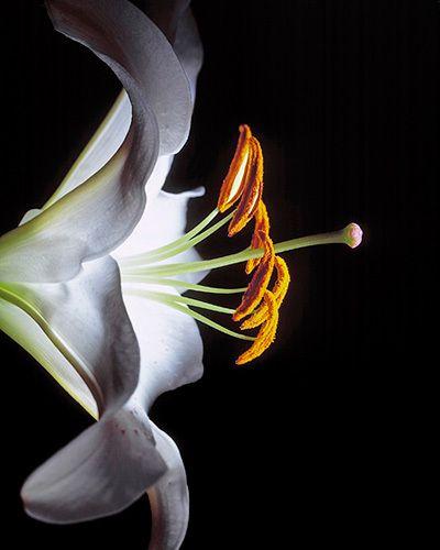 white calla lily on black kiyoshi togashi