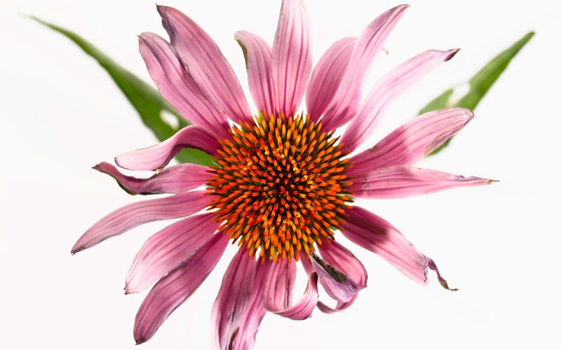 echinacea kiyoshi togashi