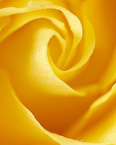 yellow rose kiyoshi togashi