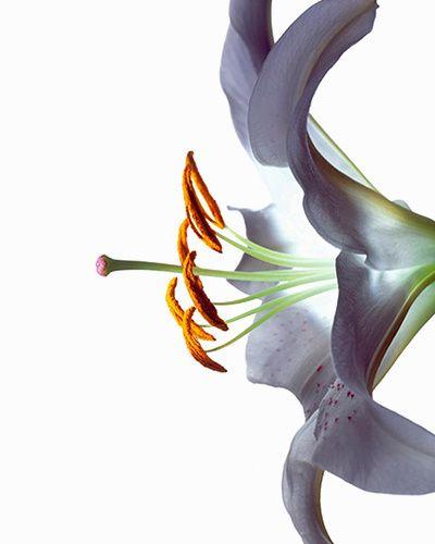 white calla lily kiyoshi togashi